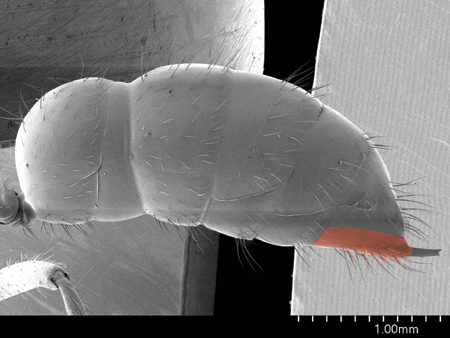 Abdomen of a Leptogenys sp worker from Nepal, profile view (Scanning Electron Micrograph, Roberto Keller/AMNH)