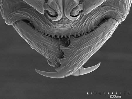 Anterior part of the head of an Australian <em>Onychomyrmex doddi</em> worker (Scanning Electron Micrograph, Roberto Keller/AMNH)