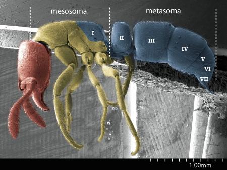 Profile view of a <em>Ponera pennsylvanica</em> worker showing secondary tagmosis (Scanning Electron Micrograph, Roberto Keller/AMNH)