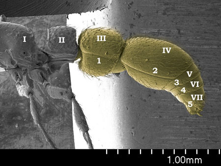 The five segmented gaster (yellow) in a <em>Cerapachys nitidulus</em> worker. Roman numerals refer to abdominal segments (Scanning Electron Micrograph, Roberto Keller/AMNH)