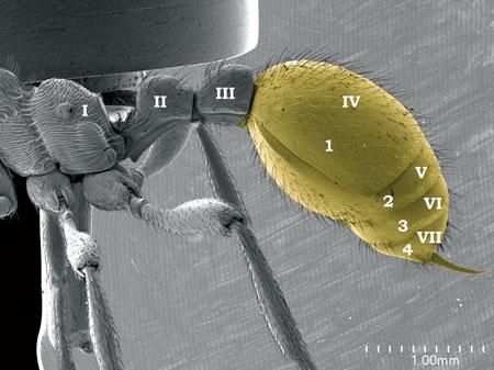 Four segmented gaster (in yellow, arabic numerals) in a <em>Manica rubida</em> worker. Roman numerals refers to abdominal segments (Scanning Electron Micrograph, Roberto Keller/AMNH)