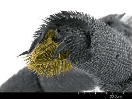 Pretarsus of a <em>Probolomyrmex guineensis</em> worker. Arolium in yellow (Scanning Electron Micrograph, Roberto Keller/AMNH)