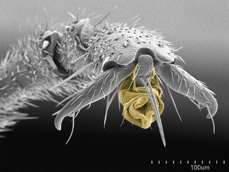 Pretarsus (foot) of a <em>Tetraponera attenuata</em> worker. Arolium in yellow (Scanning Electron Micrograph, Roberto Keller/AMNH)
