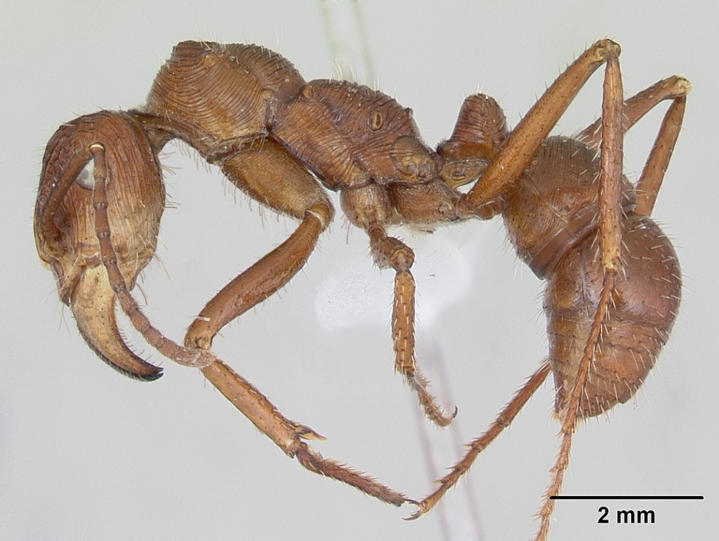 <em>Ectatomma tuberculatum</em> worker (April Nobile, antweb.org)