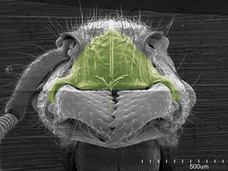 The swollen clypeus (in green) on an <i>Acanthoponera minor</i> worker (Scanning Electron Micrograph, Roberto Keller/AMNH)