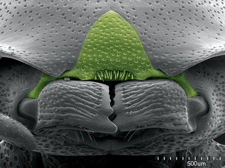 The clypeus (in green) on the turtle ant <i>Procryptocerus</i>, with a characteristic brush on its anterior border (Scanning Electron Micrograph, Roberto Keller/AMNH).