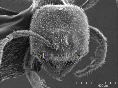 <i>Acropyga</i> ant workers are minute individuals displaying a very reduced external morphology. Arrows point to the anterior tentorial pits (Scanning Electron Micrograph, Roberto Keller/AMNH)