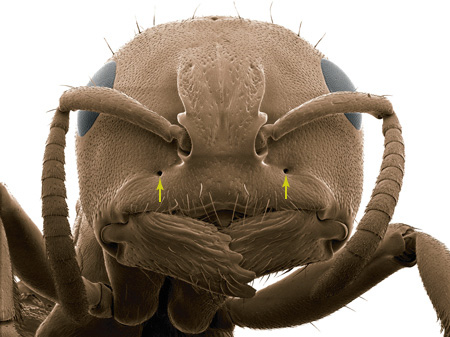 The anterior tentorial pits (arrows) in a <i>Tetraponera aethiops</i> worker (Scanning Electron Micrograph, Roberto Keller/AMNH)