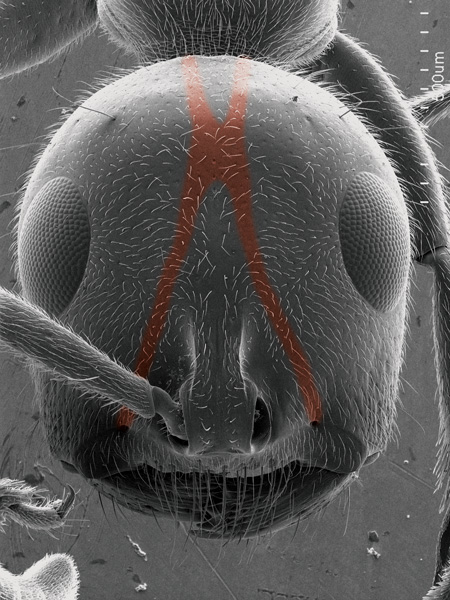 The tentorium is the H-like structure of the internal skeleton of the head, marked in red as it will look in the inside. <i>Tetraponera attenuata</i> worker (Scanning Electron Micrograph, Roberto Keller/AMNH)