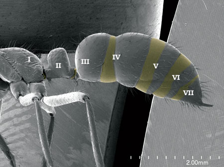 "Presclerites (in yellow) along the segments of the metasoma in a <i>Leptogenys</i> sp worker. Note how the IV abdominal segment is ""tubulated"" but there is no true postpetiole (Scanning Electron Micrograph, Roberto Keller/AMNH)"
