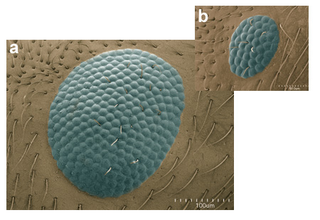 Compound eyes of a queen (a) and a worker (b) of the citronella ant Lasius (=Acanthomyops) occidentalis. The images are at the same scale (Scanning Electron Micrograph, Roberto Keller/AMNH)