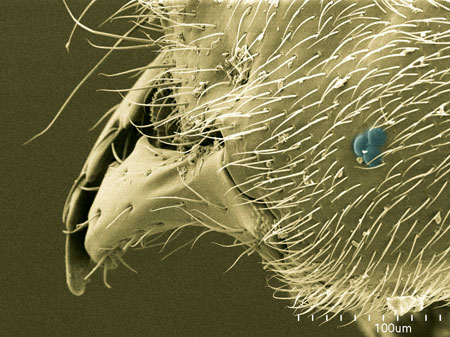 A worker of the tiny formicine Acropyga sp (Scanning Electron Micrograph, Roberto Keller/AMNH)