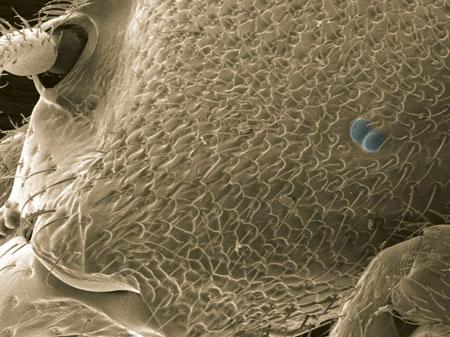 A worker of the elusive Concoctio concenta, from Gabon (Scanning Electron Micrograph, Roberto Keller/AMNH)